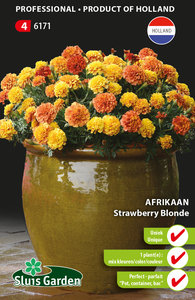 Afrikaan Strawberry Blonde