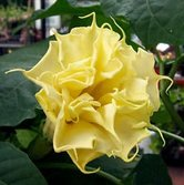 Datura-golden-queen---frilled-double
