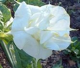 Datura-white--Double-Purity