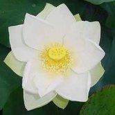 Nelumbo-nucifera--Heilige-Lotus-bloem