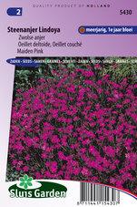 Steenanjer-Lindoya-(Dianthus)
